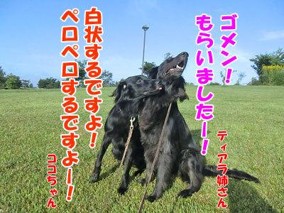 チャンスとティアラ+ココ-20120829-4-400.jpg