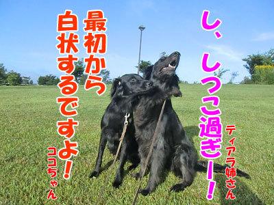 チャンスとティアラ+ココ-20120829-5-400.jpg