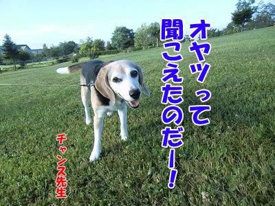チャンスとティアラ+ココ-20120829-7-400.jpg