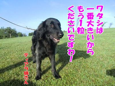チャンスとティアラ+ココ-20120829-9-400.jpg