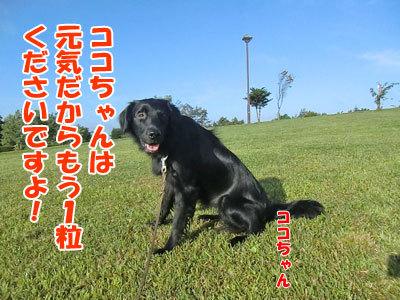 チャンスとティアラ+ココ-20120829-10-400.jpg