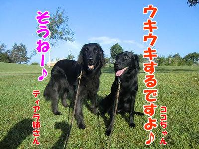 チャンスとティアラ+ココ-20120830-2-400.jpg