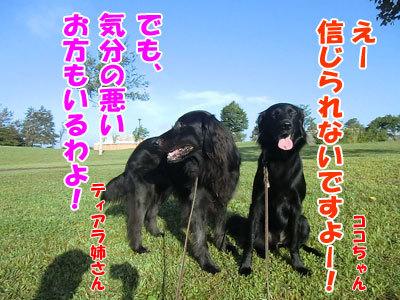 チャンスとティアラ+ココ-20120830-3-400.jpg