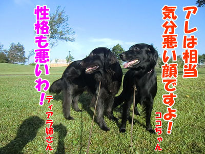 チャンスとティアラ+ココ-20120830-4-400.jpg