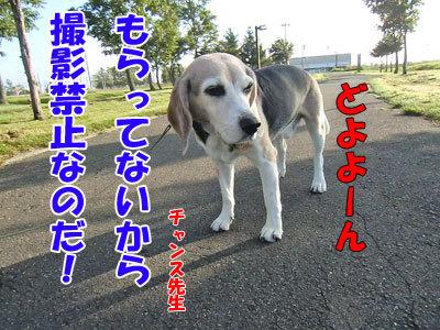 チャンスとティアラ+ココ-20120830-5-400.jpg