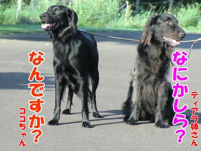 チャンスとティアラ+ココ-20120921-2-400.jpg