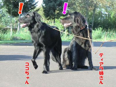 チャンスとティアラ+ココ-20120921-3-400.jpg
