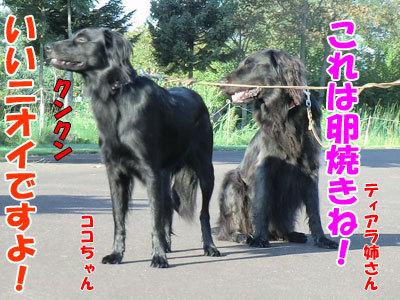 チャンスとティアラ+ココ-20120921-4-400.jpg