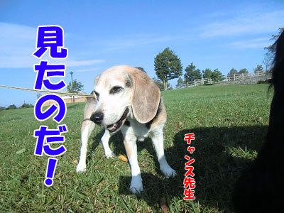 チャンスとティアラ+ココ-20120921-5-400.jpg