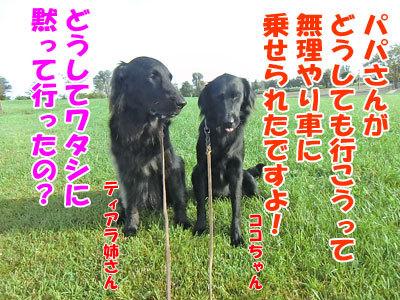 チャンスとティアラ+ココ-20120922-9-400.jpg