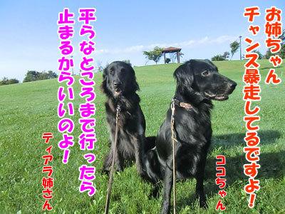 チャンスとティアラ+ココ-20120923-4-400.jpg