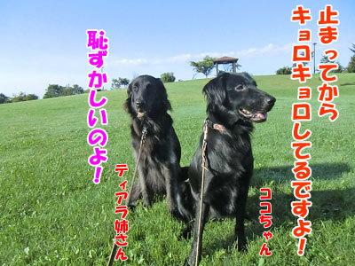 チャンスとティアラ+ココ-20120923-5-400.jpg