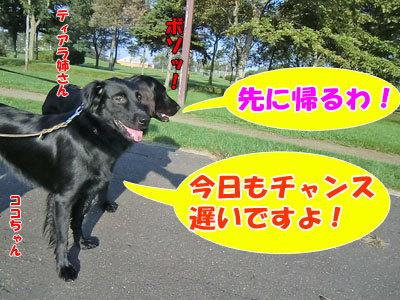チャンスとティアラ+ココ-20120924-1-400.jpg