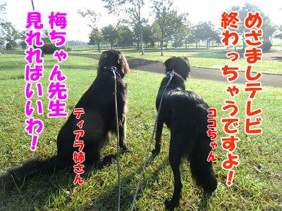 チャンスとティアラ+ココ-20120924-3-400.jpg