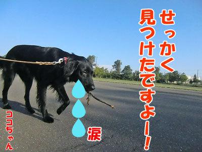 チャンスとティアラ+ココ-20120925-2-400.jpg