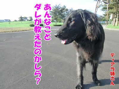 チャンスとティアラ+ココ-20120925-4-400.jpg