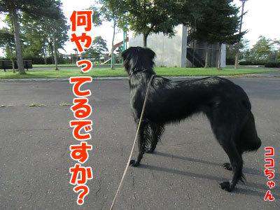 チャンスとティアラ+ココ-20120926-3-400.jpg