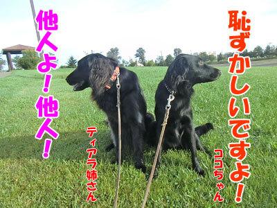 チャンスとティアラ+ココ-20120926-8-400.jpg