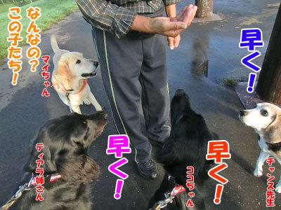 チャンスとティアラ+ココ-20120927-7-400.jpg