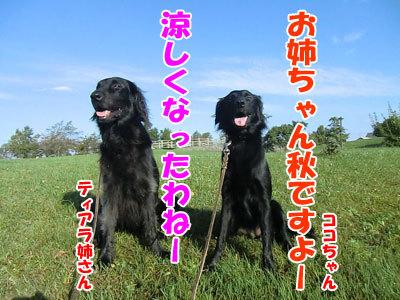 チャンスとティアラ+ココ-20120928-1-400.jpg