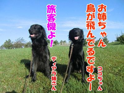 チャンスとティアラ+ココ-20120928-2-400.jpg