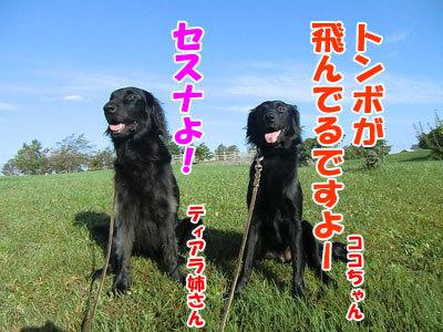 チャンスとティアラ+ココ-20120928-3-400.jpg