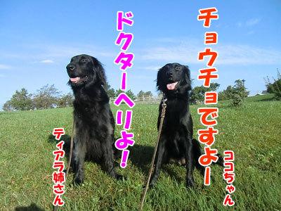 チャンスとティアラ+ココ-20120928-5-400.jpg