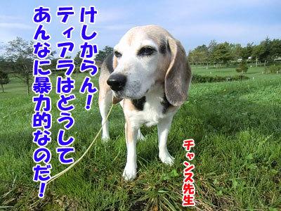 チャンスとティアラ+ココ-20120929-5-400.jpg