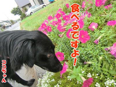 チャンスとティアラ+ココ-20120930-2-400.jpg