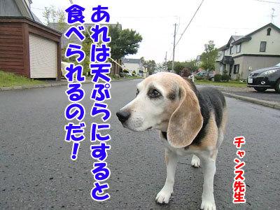 チャンスとティアラ+ココ-20120930-3-400.jpg