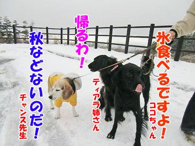 チャンスとティアラ+ココ-20121022-8-400.jpg