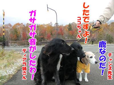 チャンスとティアラ+ココ-20121022-12-400.jpg