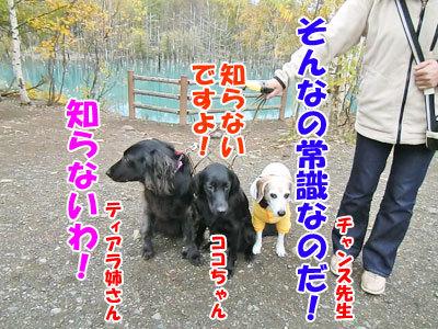 チャンスとティアラ+ココ-20121023-3-400.jpg
