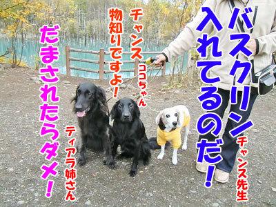 チャンスとティアラ+ココ-20121023-4-400.jpg