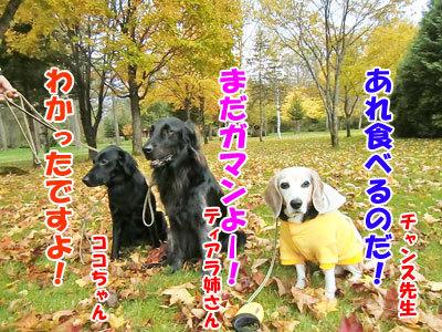 チャンスとティアラ+ココ-20121023-6-400.jpg