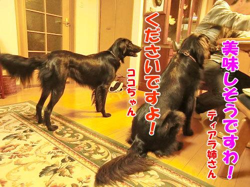 チャンスとティアラ+ココ-20121024-5-500.jpg
