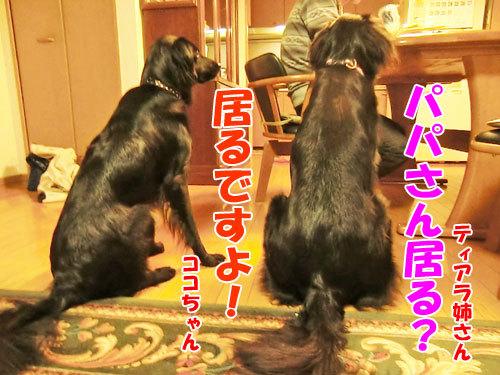 チャンスとティアラ+ココ-20121024-6-500.jpg