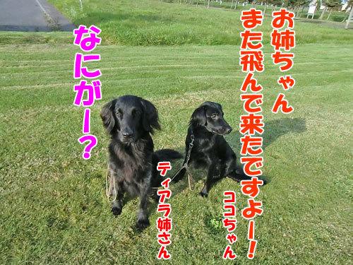 チャンスとティアラ+ココ-20121025-1-500.jpg