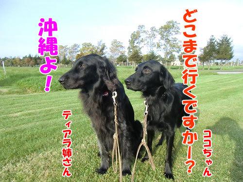 チャンスとティアラ+ココ-20121025-3-500.jpg