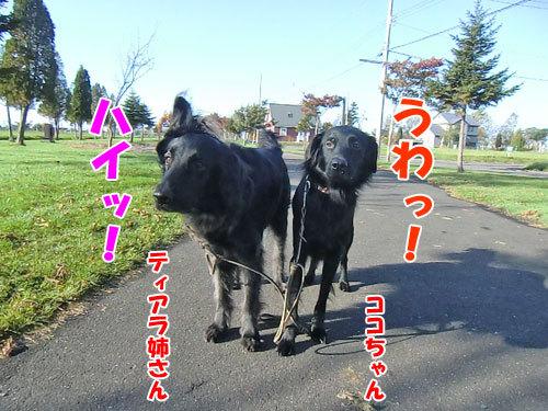 チャンスとティアラ+ココ-20121026-1-500.jpg