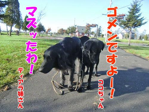 チャンスとティアラ+ココ-20121026-2-500.jpg