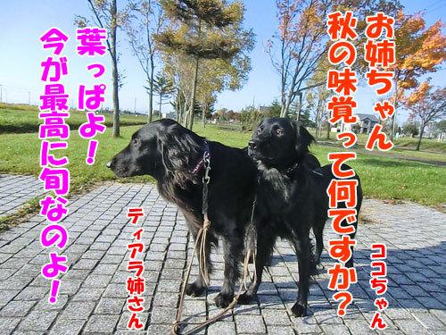 チャンスとティアラ+ココ-20121026-3-500.jpg