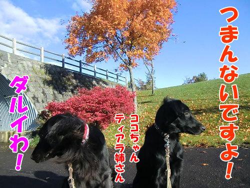 チャンスとティアラ+ココ-20121027-2-500.JPG