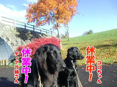 チャンスとティアラ+ココ-20121027-3-500.JPG