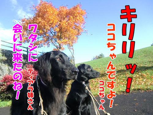 チャンスとティアラ+ココ-20121027-4-500.JPG