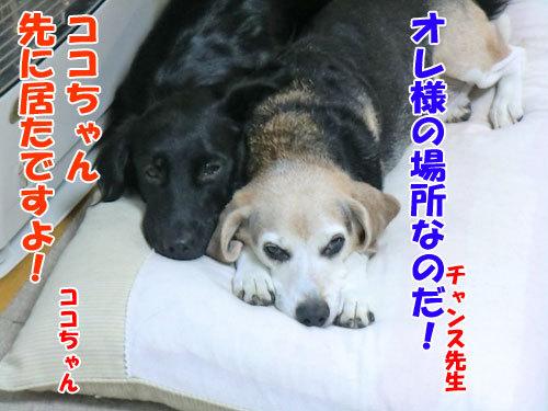 チャンスとティアラ+ココ-20121028-1-500.jpg