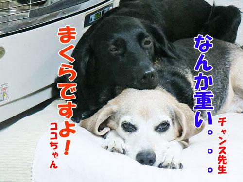 チャンスとティアラ+ココ-20121028-2-500.jpg