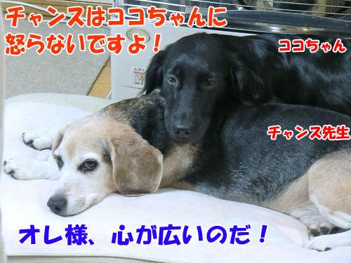 チャンスとティアラ+ココ-20121028-3-500.jpg