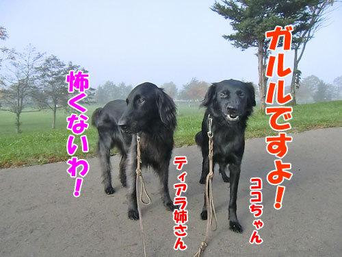 チャンスとティアラ+ココ-20121029-4-500.jpg