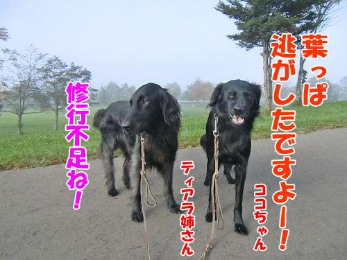 チャンスとティアラ+ココ-20121029-5-500.jpg